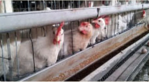 石本農場 鶏